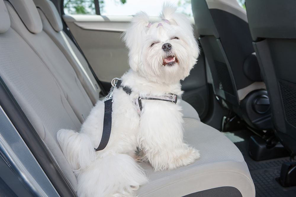 small dog Maltese sitting safe in the pet taxi car in the back seat in a safety harness. The Pet Taxi App offers Pet Transportation and Delivery Service for Groomers, Dog Daycares, Veterinarians, and Busy Pet Owners.